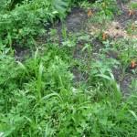 Corn among the weeds